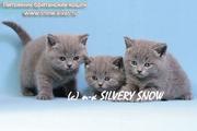 Московский питомник предлагает британских котят