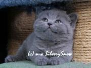 Купить британского плюшевого котенка.